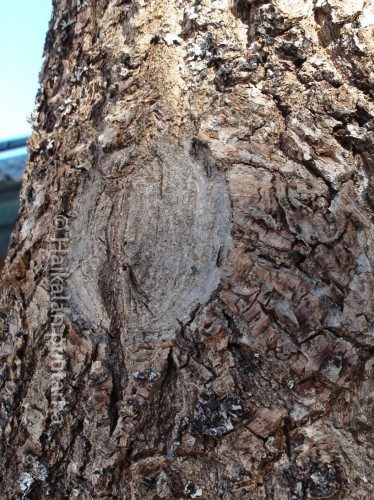 leikattu puu